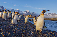 King penguin, Aptenodytes patagonicus rookery at Saint Andrews Bay on South Georgia Island.