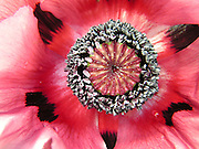 A close-up (macro) view of an Oriental Poppy (Papaver orientale 'Patty's Plum') flower, showing the characteristic black blotches on the taffeta-like petals and the exquisitely detailed ring of stamens at the centre, surrounding the proto-seedpod.<br />
