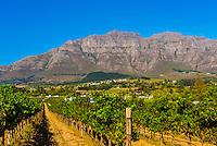 Vineyards at harvest time, Kleine Zalze Wines , Stellenbosch, Cape Winelands, South Africa.