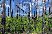 Boreal forest rejuvinating after fire<br /> Wood Buffalo National Park<br /> Northwest Territories<br /> Canada