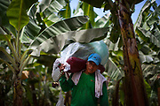 A worker carries a racime of organic Fairtrade bananas at a plantation of APPBOSA in Peru.