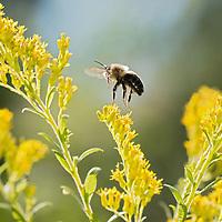 North American Native Bees
