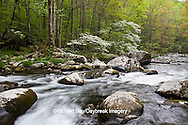 66745-04112 Dogwood trees in spring along Middle Prong Little River, Tremont Area, Great Smoky Mountains National Park, TN