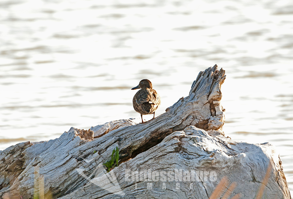 A female Cinnamon Teal sits on a tree stump along the Bear River in northern Utah.