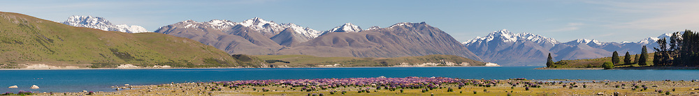 Panoramic of lupins below Lake Tekapo on a fine summer day!<br />