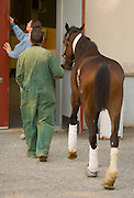 Chief of Surgery Dean Richardson at the University of Pennsylvania?s George D. Widener Hospital in Kennett Square, Pa. leads Barbaro back to his stall after walking the injured thorobred in a padock outside the hospital stable, Friday September 29, 2006, in Kennett Square, Pa. (Photograph by Jim Graham)