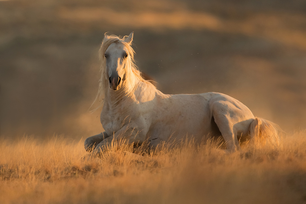 As dawn's first light breaks at McCullough Peaks, the wild stallion, Bridger, rises from a cloud of dust to greet the day.