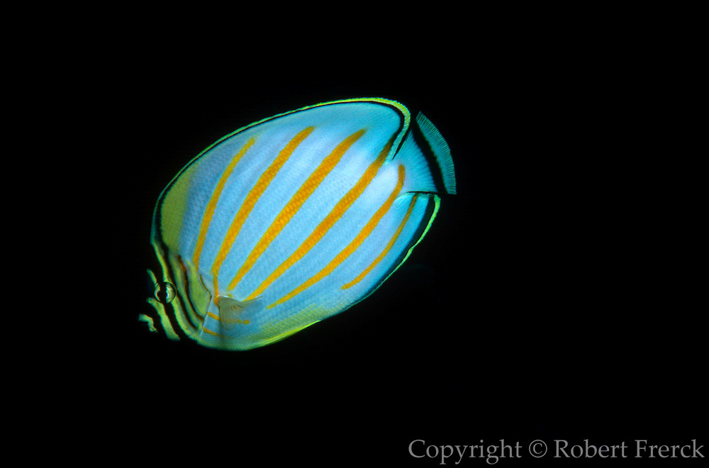 UNDERWATER MARINE LIFE HAWAII FISH: Ornate butterflyfish Chaetodon ornatissima