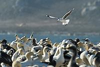 Malgas Island, West Coast National Park, Western Cape, South Africa