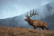A dominant 7x7 bull elk emerges from the fog to confront a challenger in the distance.