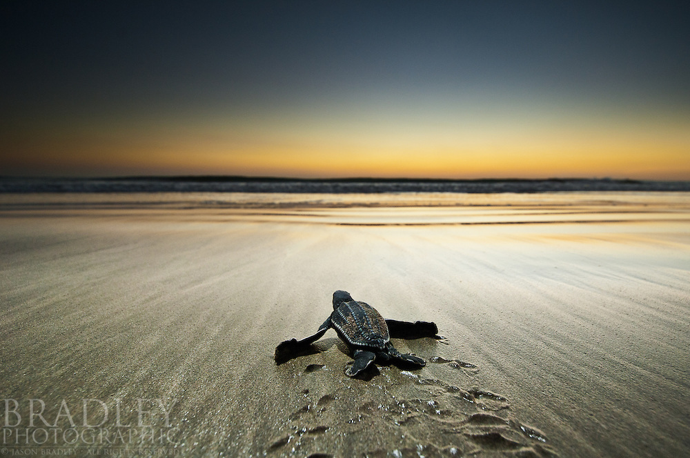 On a remote beach in Western Costa Rica, this leatherback sea turtle hatchling offers hope that this critically endangered animal can survive.