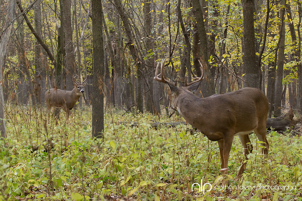 White-tailed deer bucks  in forest during rut;  Minnesota in wild.