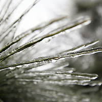 Pine needles are covered with ice in the Dunes West neighborhood of Mount Pleasant after a long period of freezing rain ended Wednesday, Jan. 29, 2014. (ANDREW KNAPP/STAFF)