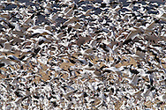 Snow Geese (Chen caerulescens) exploding into flight at sunrise