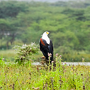 African Fish Eagle (Haliaeetus vocifer) Photographed in Kenya, Lake Naivasha Reserve in February