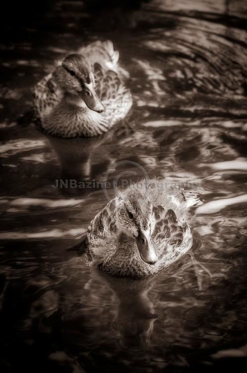 Close-up of two young Mallard ducks swimming in lake