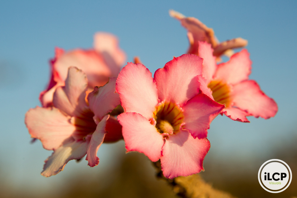 Desert Rose (Adenium obesum) flowers Dhofar Mountains, Oman