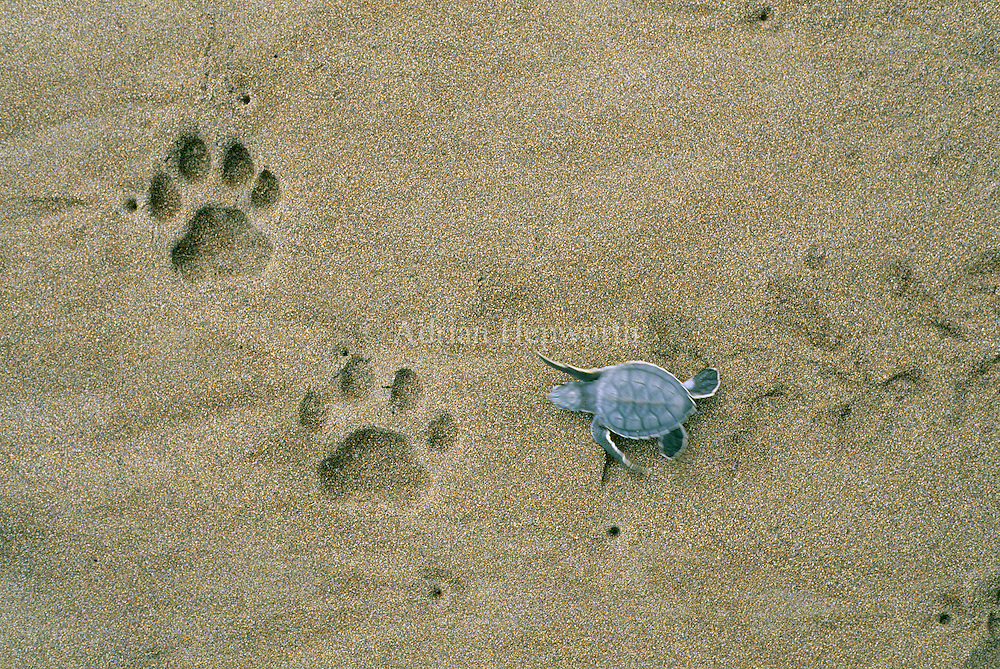 Green turtle (Chelonia mydas) hatchling and jaguar paw prints. Tortuguero National Park, Costa Rica.