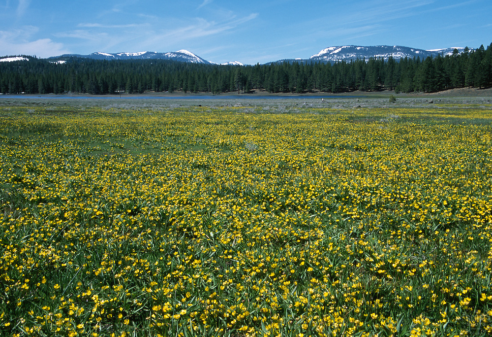 &quot;Kyburz Flat&quot;- These flowers were photographed facing south at Kyburz Flat, which is near Stampede Reservoir, CA.<br />