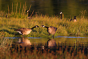 A pair of Canada geese (Branta canadensis) appear to argue as the Edmonds Marsh in Edmonds, Washington, is colored in the golden light of sunset.