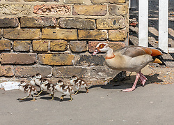 © Licensed to London News Pictures. 10/04/2020. London, UK. A family of geese walk up a main road in Wandsworth.  A family of Egyptian geese including six chicks caused a bit of a stir in Wandsworth in South London, as they went on a Easter Sunday walk. But their derring escape from nearby Richmond Park possibly breaking lockdown rules was unfortunately foiled by passers-by who tried to help them return to the park and away from the main roads. Photo credit: Alex Lentati/LNP