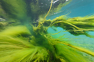 Floating green algae on a sunken tree in the river Reuss, Lucerne, Switzerland