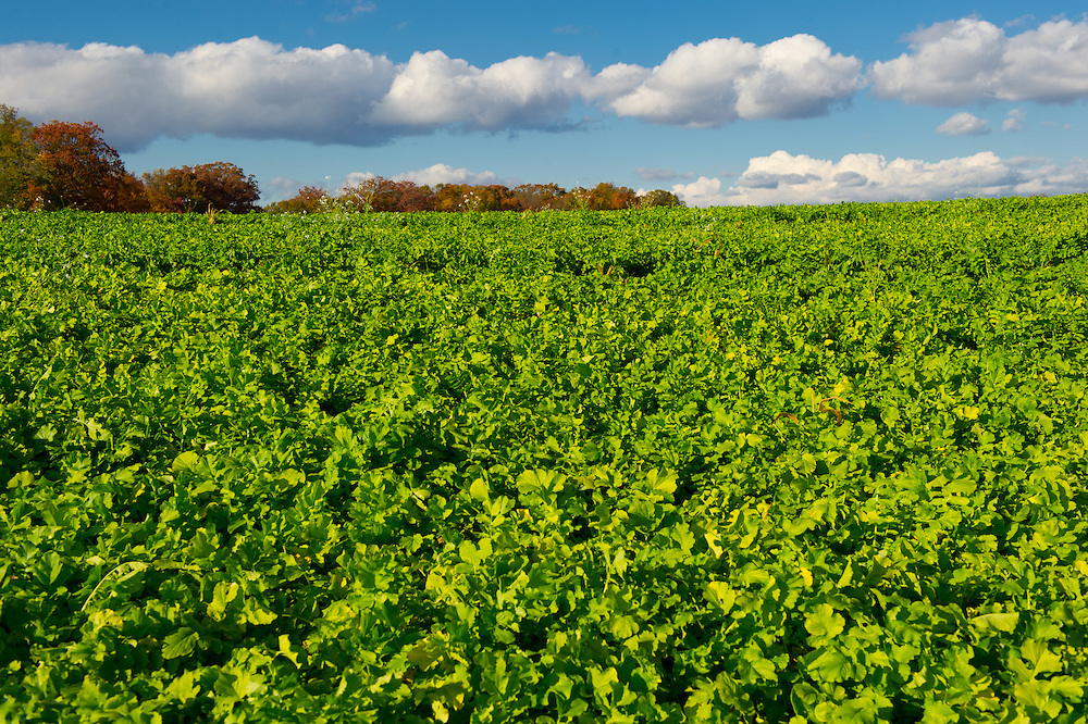 Cover crop, Diakon radish field and blue sky