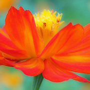 """""""Whirl Wind""""<br /> <br /> This lovely orange, red and yellow cosmos seems to be in a whirlwind, or twirl with her lovely petals and soft colors!!<br /> <br /> Flower and floral images by Rachel Cohen"""