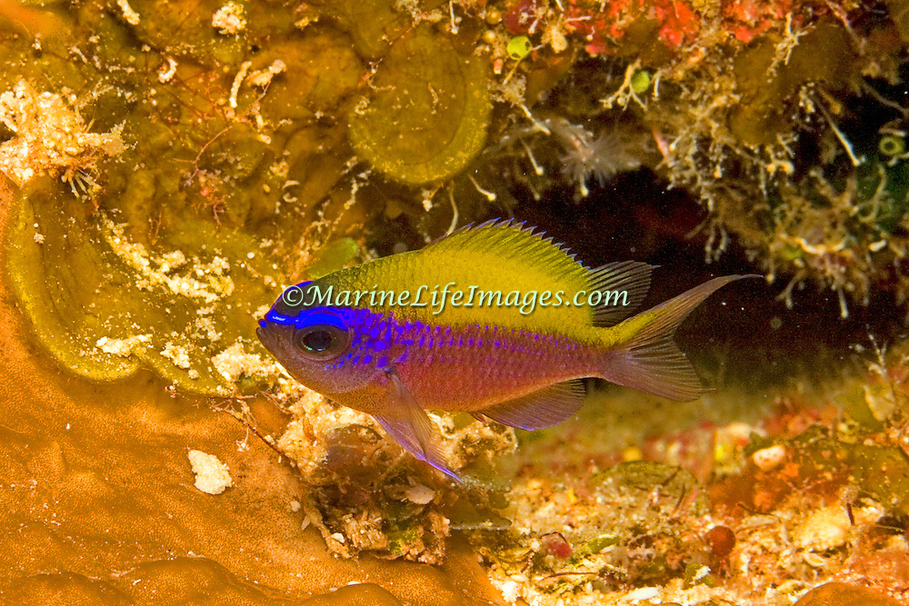 Sunshinefish, juvenile, inhabit deep reefs and walls in Tropical West Atlantic; picture taken Utila, Honduras.