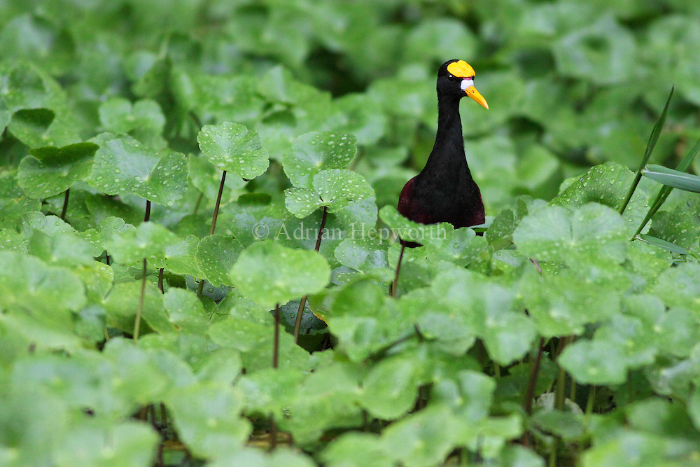 Northern Jacana (Jacana spinosa) on floating vegetation on natural canal, Tortuguero National Park, Costa Rica. <br /> <br /> For pricing click on ADD TO CART (above). We accept payments via PayPal.
