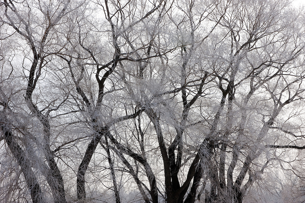 A tangle of tree branch arteries are covered in frost created by a foggy winter morning