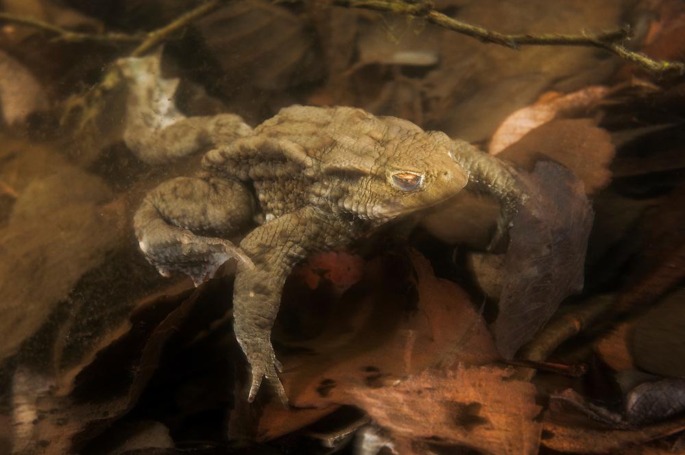 Common toad (Bufo bufo), vanlig padda<br /> Location: Billebj&auml;r, Sk&aring;ne, Sweden