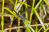 Sable Clubtail (Gomphus rogersi) - male<br /> PENNSYLVANIA: Huntingdon Co.<br /> Beaver Dam Meadow off Pine Swamp Rd.<br /> 26.June.2015<br /> J.C. Abbott #2756
