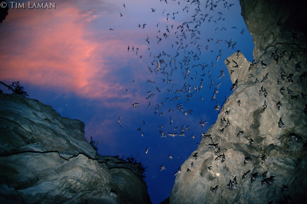 Wrinkled-lipped Bat (Tadarida plicata) flock emerges from a cave mouth at sunset just outside Khao Yai National Park, Thailand.