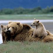 Alaskan Brown Bear, (Ursus middendorffi) Mother resting with two young cubs one on her back, Katmai National Park, Alaska.