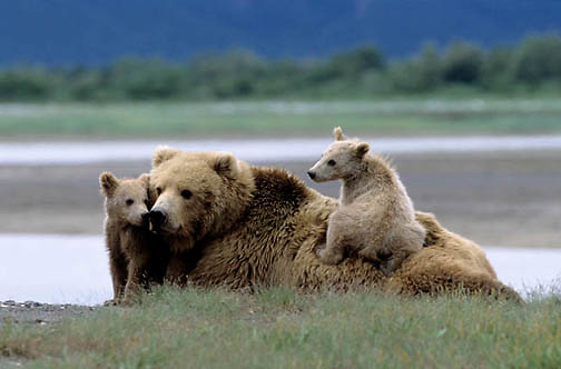 Alaskan Brown Bear, (Ursus middendorffi) Mother resting with two young cubs one on her back, Katmai National Park, Alaska.