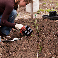 A gardener kneels while she transplants onion seedlings into the compost-rich soil of a garden bed in a vegetable kitchen garden.