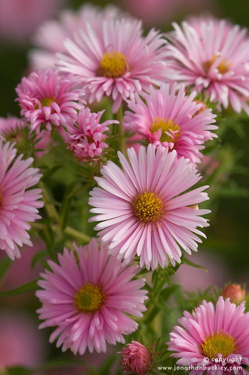 Aster novae-angliae 'Harrington's Pink'