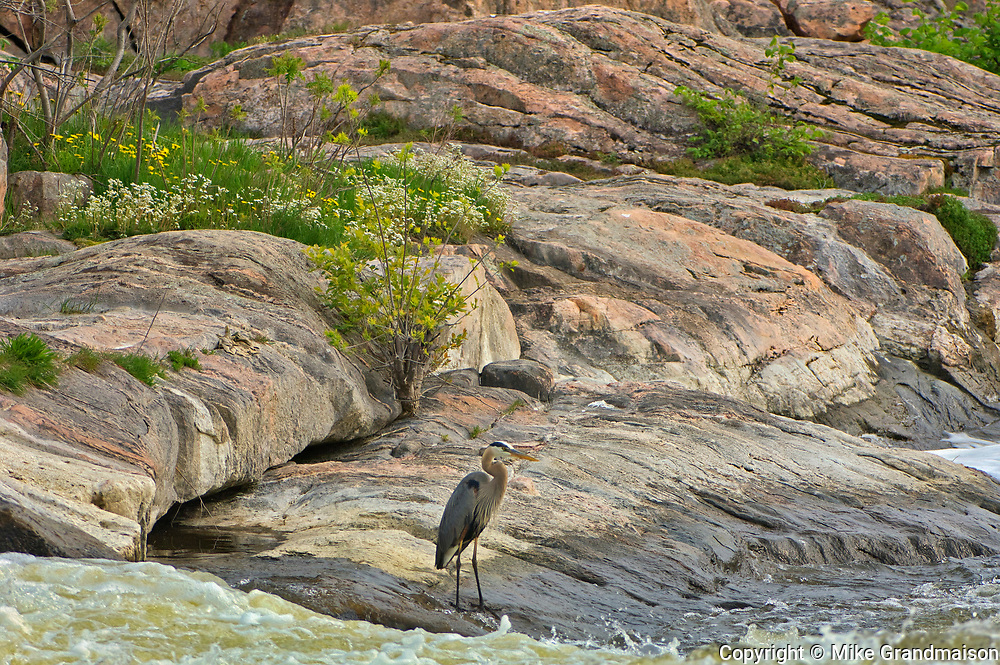 Great blue heron  (Ardea herodias) at Burleigh Falls in the Kawartha DIstrict<br />Burleigh Falls<br />Ontario<br />Canada