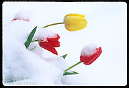 Tulip flowers bend under weight of wet, heavy snow after an unusual April snowstorm in St. Louis, Missouri
