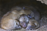Bat-eared fox<br /> Otocyon megalotis<br /> 5 day old pups inside den<br /> Masai Mara Reserve, Kenya