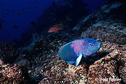 sunset wrasse, Thalassoma lutescens, Galapagos Islands, Ecuador,  ( Eastern Pacific Ocean )