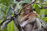 Female Proboscis Monkey and baby, Nasalis larvatus, sitting in a tree, Bako National Park, Sarawak, Malaysia