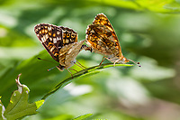 Phyciodes pulchella (Field Crescent) ♀+♂ at Alder Creek, Tulare Co, CA, USA, on 02-Jun-13