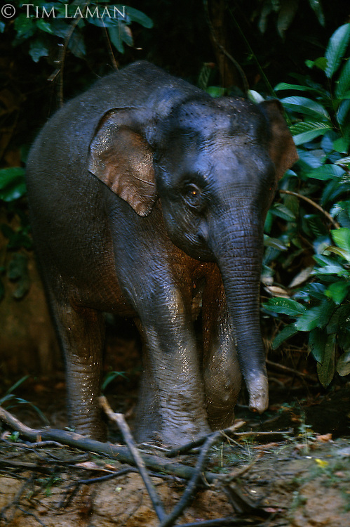 A young Borneo Pygmy Elephant on a river bank.