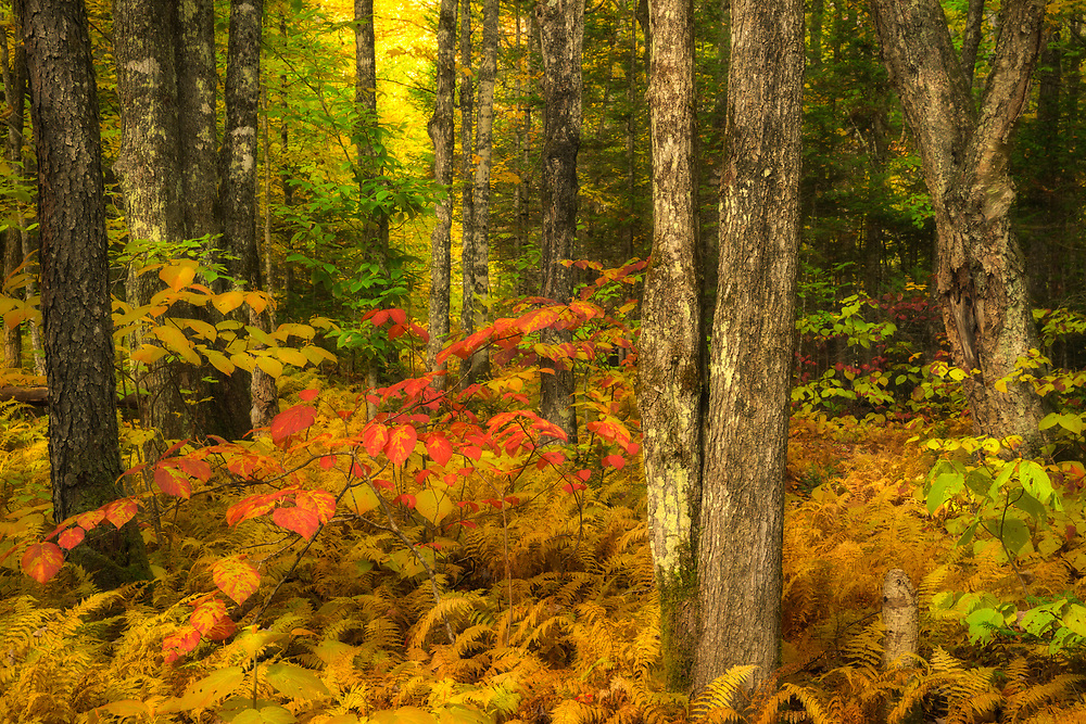 Colorful autumn forest scene, Vermont, USA