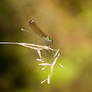 The Syrian Demoiselle (Calopteryx syriaca) is a species of damselfly in the family Calopterygidae. It is found in Israel, Jordan, Lebanon, Palestinian Territory, and Syria. Its natural habitats are along rivers and intermittent rivers.