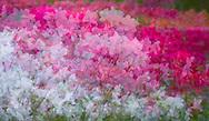 multiple photographic layers of azaleas