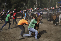 August 13, 2017 - Marin, Pontevedra, Spain - Loitadores struggle with a wild horse during the Rapa Das Bestas traditional event in the region of Marin, northwestern Spain, on August 13, 2017. Wild horses are rounded up from nearby mountains and herded into an outdoor pen to cut the mane of the horses, during the 400-year-old horse festival called Rapa das bestas (Shearing of the Beasts) celebrated in different villages of Galicia in Spain. This year the Concello of Marin celebrates its twelfth edition, retrieving the tradition. (Credit Image: © Manuel Balles via ZUMA Wire)