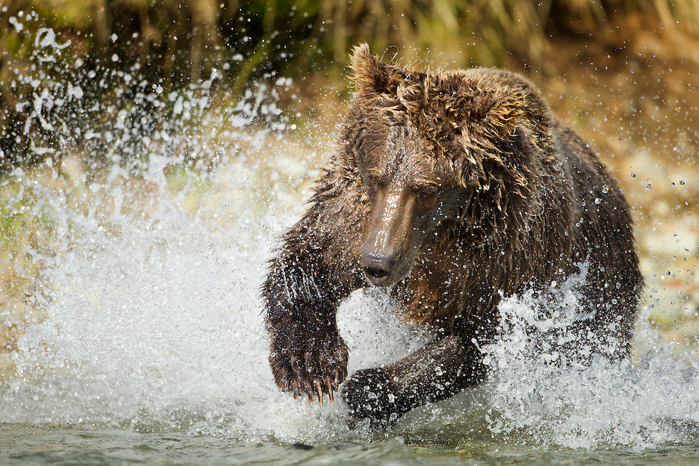 USA, Alaska, Katmai National Park, Coastal Brown Bear (Ursus arctos)  splashes while fishing for spawning salmon in stream along Kinak Bay